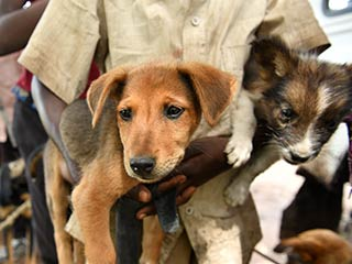 African Dogs waiting to be vaccinated for Rabies