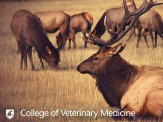 Elk Grazing in FIeld