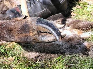 Elk Hoof Disease Reported