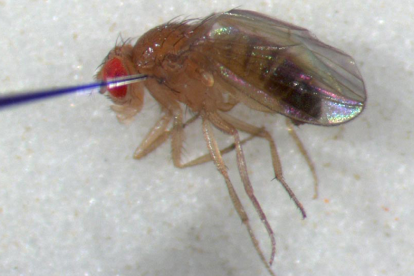 Male Fly Inject